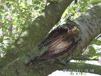 V úterý 20. března se budou kácet staré třešně